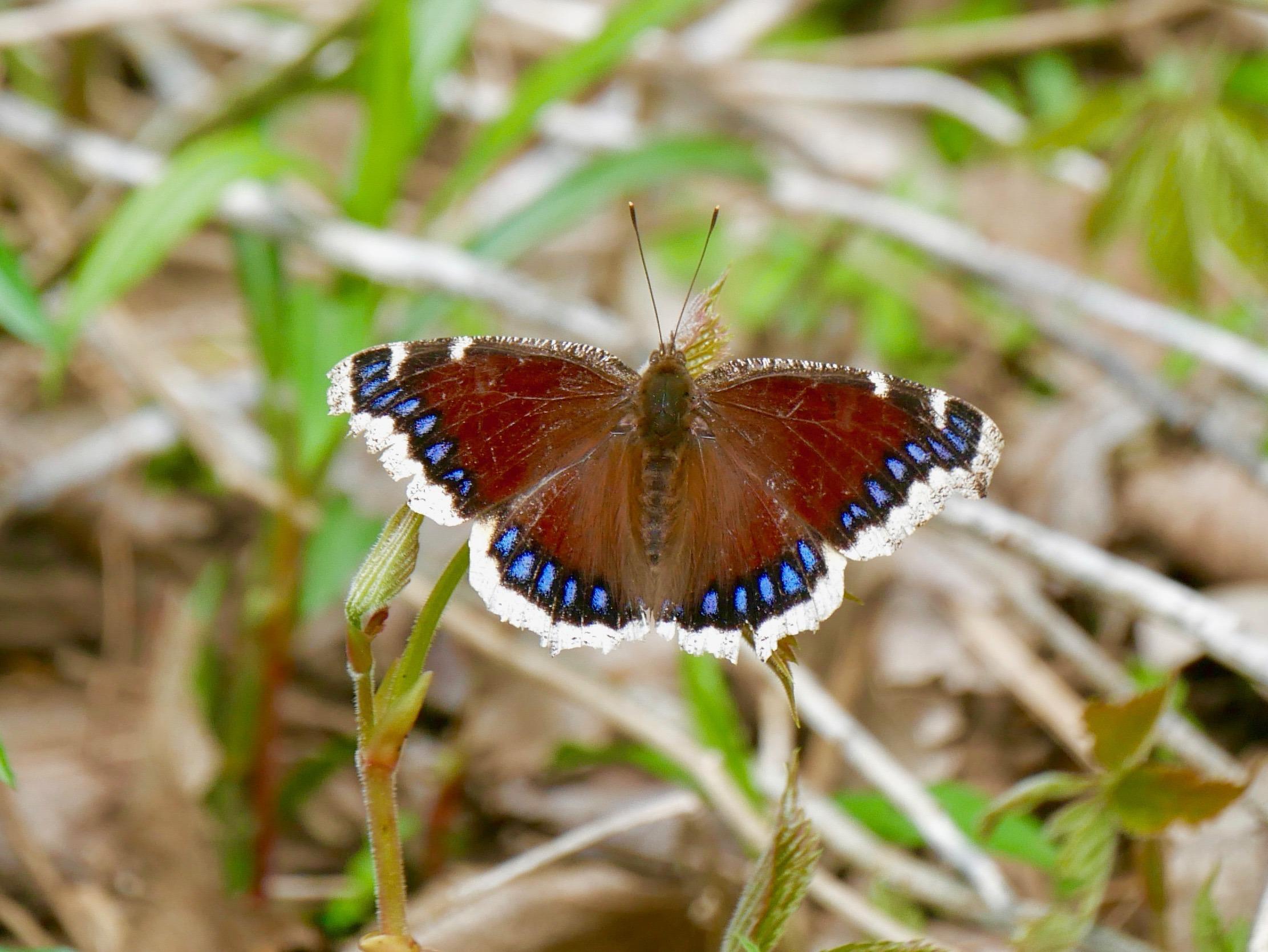 Minnesota Butterflies